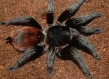 Mexican Red Rump Tarantula Stunning color in Fort Riley, Kansas